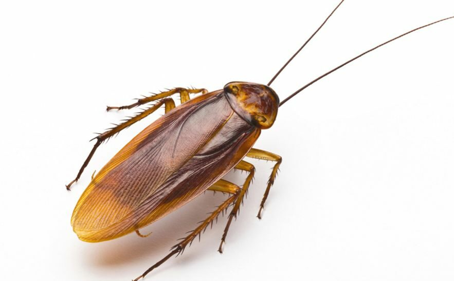 _86464630_cockroach-on-white-976-thin