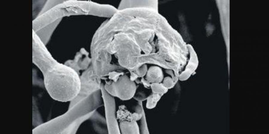 Black_fungus